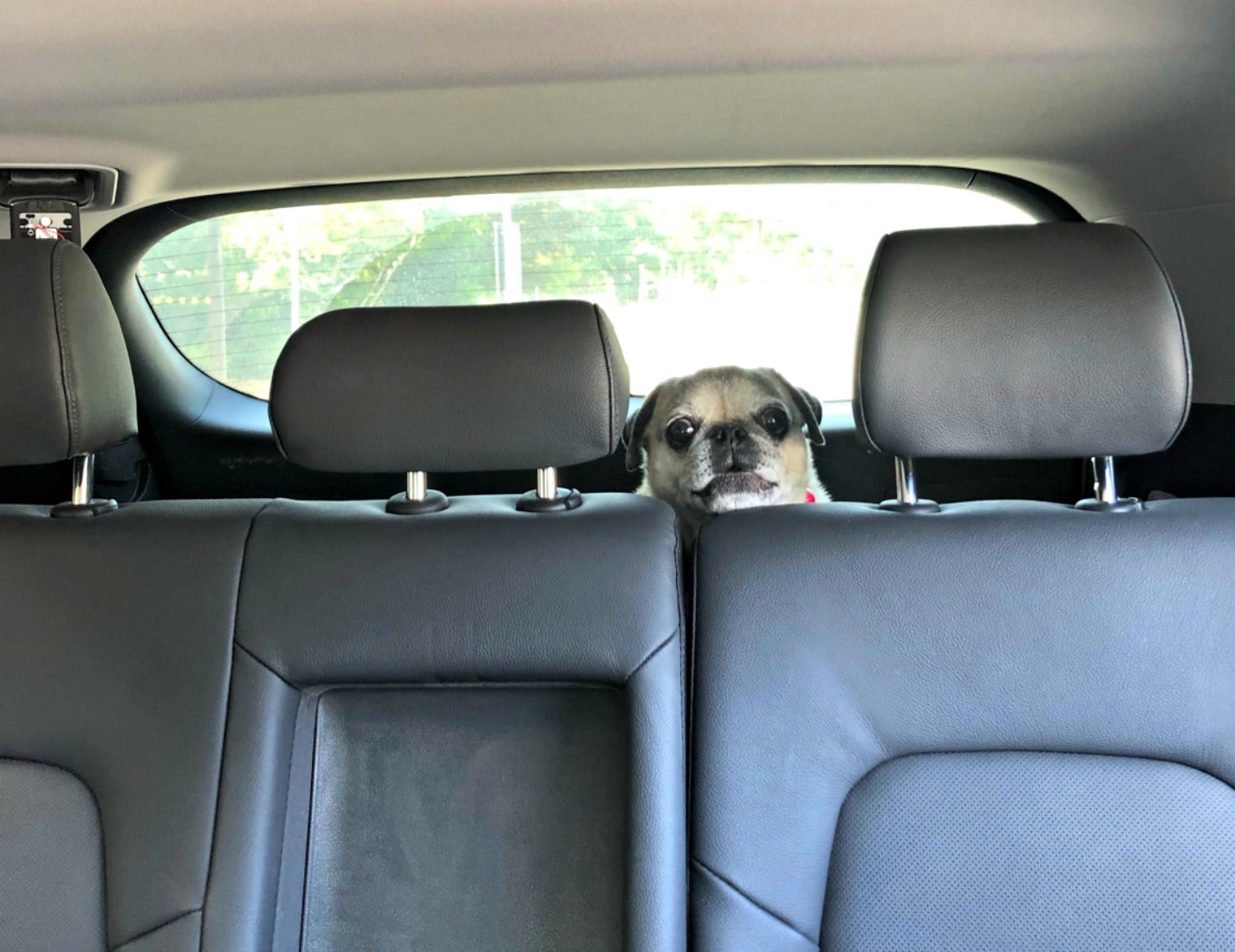 pug in behind back seat in car