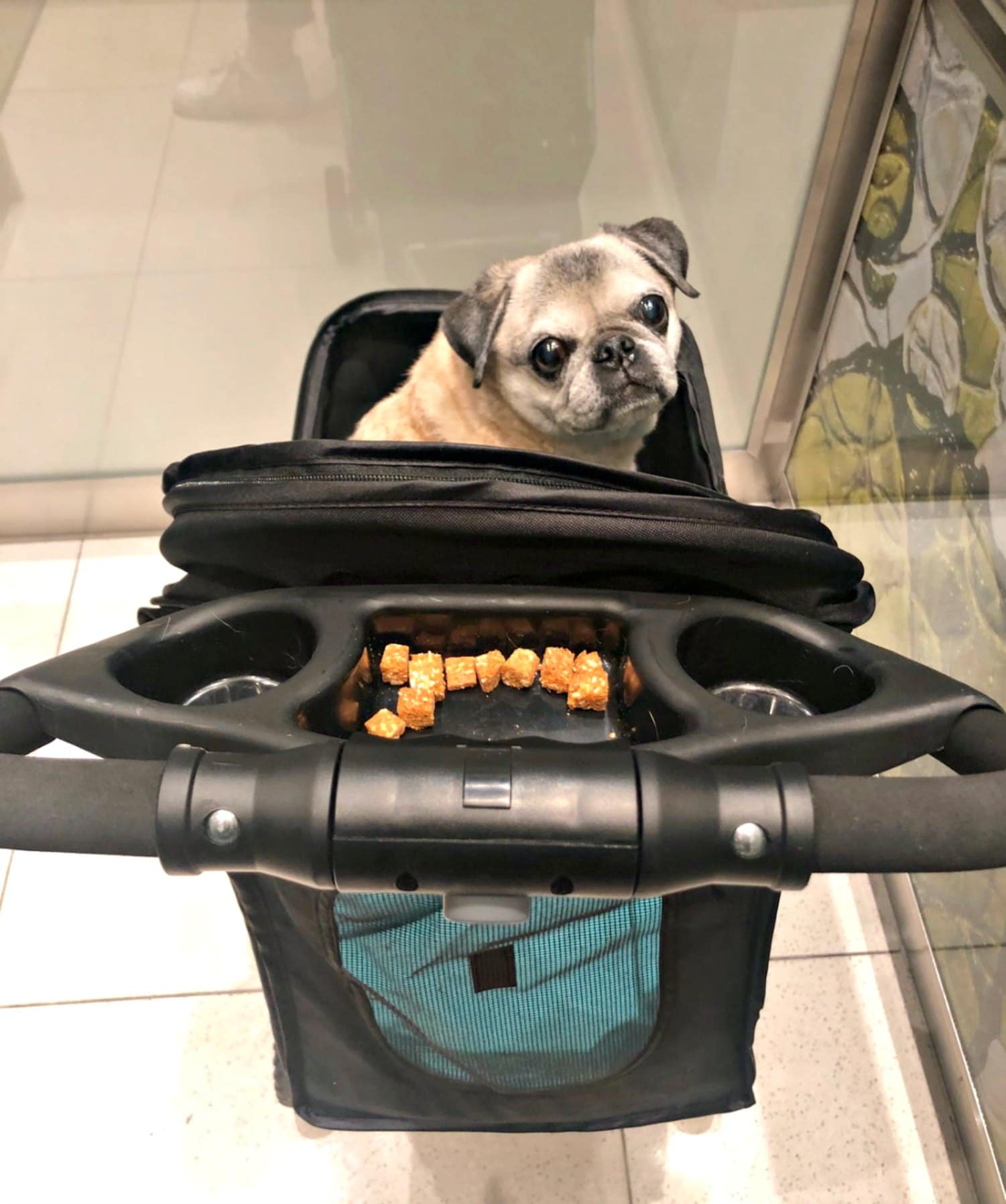 pug with treats in stroller