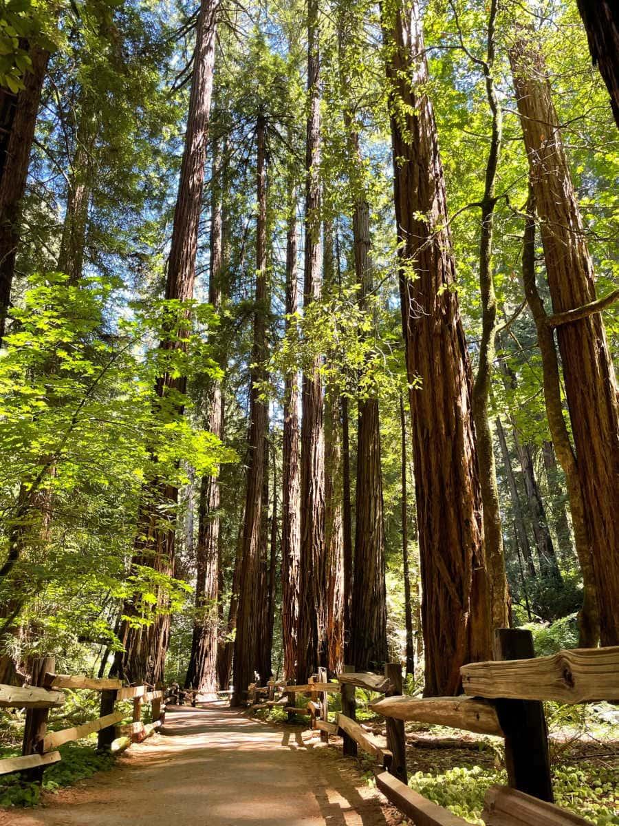 path in muir woods